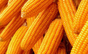 harvested maize ready for the market
