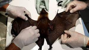 scientists carrying out analysis on bat